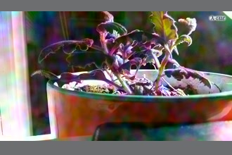 a thumdnail for published video. The fluctuations in the camera/light are somewhat enhanced (and artifacts are created), but there is no noticeable color change in the plant, experiment failed.